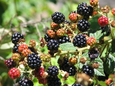blackberries_by_thomaspix