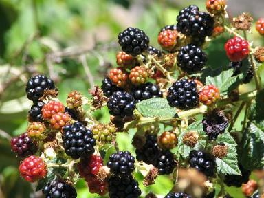 blackberries_by_thomaspix