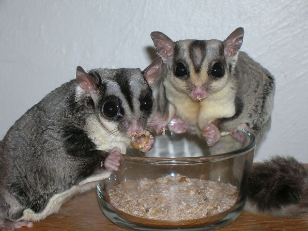 1280px-Sugar_Gliders_eating_Mealworms